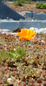 Flower on sedum Roof image