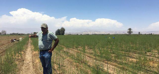 Asparagus growing in Peru – Peru – ech20 newsletter snippet